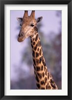 Framed Southern Giraffe, South Africa