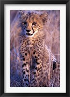 Framed South Africa, Phinda Reserve. King Cheetah