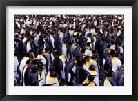 Framed South Georgia Island, King Penguins
