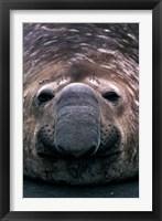Framed South Georgia Island, Southern Elephant Seal