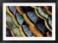 Framed South American Ocellated Turkey