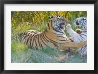 Framed Tigers Snarling, South Africa