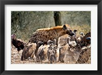 Framed Spotted hyenas and vultures scavenging on a carcass in Kruger National Park, South Africa