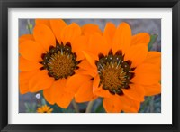 Framed Two orange Spring flowers, South Africa