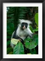 Framed Tanzania: Zanzibar, Jozani NP, red colobus monkey