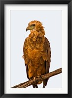 Framed Tawny Eagle on branch above the Maasai Mara Kenya