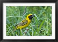 Framed Spottedbacked Weaver bird, Imfolozi, South Africa