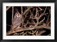Framed Spotted Eagle Owl, Mpumalanga, South Africa
