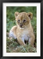Framed Tanzania, Serengeti National Park, African lion