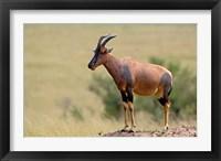 Framed Topi antelope, termite mound, Masai Mara GR, Kenya