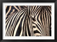 Framed Tight Portrait of Plains Zebra, Khwai River, Moremi Game Reserve, Botswana