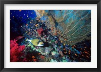 Framed Titan Triggerfish, Red Sea, Egypt