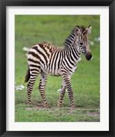 Framed Tanzania, Zebra, Ngorongoro Crater, Conservation