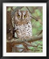 Framed Tanzania. African Scops Owl at Tarangire NP.