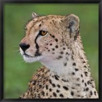 Framed Tanzania, Cheetah, Ndutu, Ngorongoro Area
