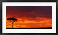 Framed Umbrella Thorn Acacia against a Red Sky, Kenya