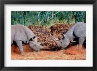 Framed White Rhino, Square Lipped Rhino, Kruger, South Africa