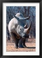 Framed White Square-Lipped Rhino, Namibia
