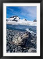 Framed Weddell seal, beach, Western Antarctic Peninsula
