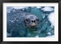 Framed Weddell seal in the water, Western Antarctic Peninsula