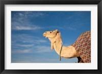 Framed Camel, Tunisia