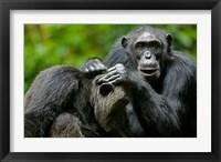 Framed Uganda, Kibale Forest Reserve, Chimpanzee, primate
