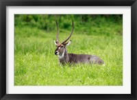 Framed Waterbuck wildlife, Hluhulwe Game Reserve, South Africa