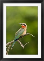Framed Whitefronted Bee-eater tropical bird, South Africa