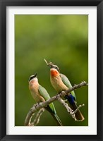 Framed Pair of Whitefronted Bee-eater tropical birds, South Africa