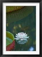 Framed Water lily flowers, Mauritius