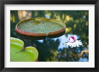 Framed Victoria amazonica water lily flower, Mauritius
