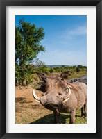 Framed Warthog, Maasai Mara National Reserve, Kenya