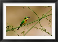 Framed Tropical Bird, Little Bee Eater, Masai Mara GR, Kenya