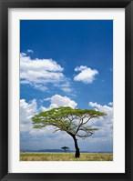 Framed Umbrella Thorn Acacia, Serengeti National Park, Tanzania