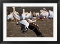 Framed White Pelican birds in flight, Lake Nakuru, Kenya