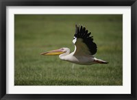 Framed White Pelican bird in flight, Lake Nakuru, Kenya