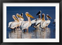 Framed Group of White Pelican birds in the water, Lake Nakuru, Kenya
