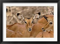 Framed Wildlife, Female Impala, Samburu Game Reserve, Kenya