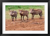 Framed Warthog, Aberdare National Park, Kenya