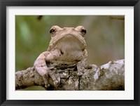 Framed Tree Frog, Phinda Reserve, South Africa