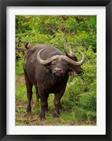 Framed Water Buffalo, Hluhulwe Game Reserve, South Africa