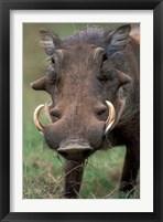 Framed Warthog Displays Tusks, Addo National Park, South Africa