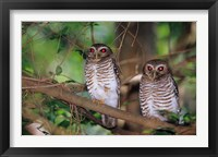 Framed White Browed Owls, Madagascar