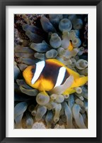 Framed Twobar Anemonefish, Bubble Tip Anemone, Egypt