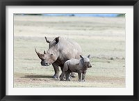Framed White rhinoceros mother with calf, Kenya