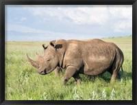 Framed White rhinoceros, Ceratotherium simum, Kenya, Africa