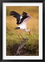 Framed Yellow-Billed Stork Readying for Flight, Maasai Mara, Kenya