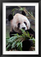 Framed Asia, China Chongqing. Giant Panda bear, Chongqing Zoo.