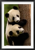 Framed Giant Panda Babies, Wolong China Conservation and Research Center for the Giant Panda, Sichuan Province, China