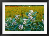 Framed Flower Field, Southern India